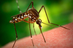 Photo of mosquito biting someone who wasn't using mosquito repellant