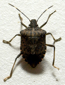 Image showing why you should use stink bug control services to prevent these pests.